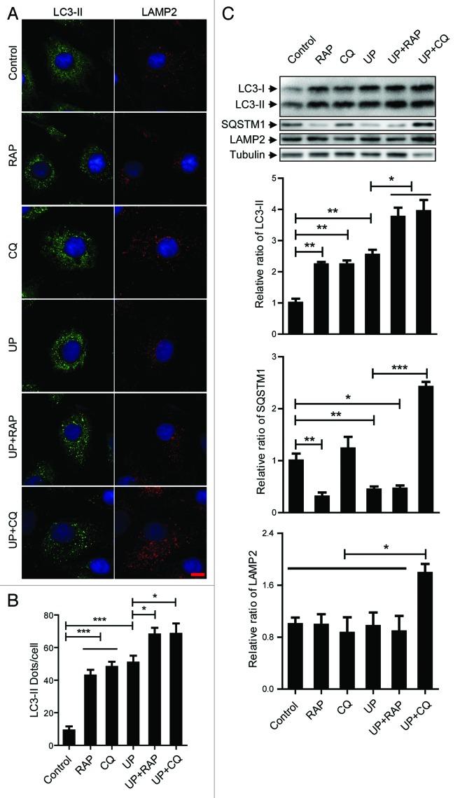 Anti Cd107b Antibody A86605 Antibodies